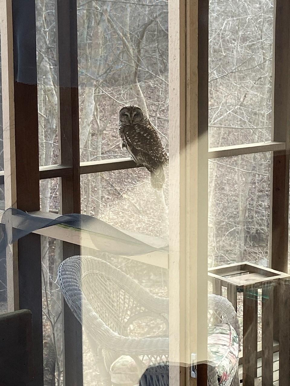 Owl_Maura